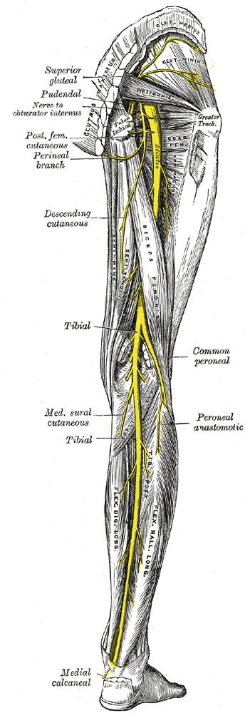 Sciatic Nerve 1